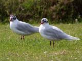 Mediterranean Gulls (2nd summer), Buckhaven, Fife