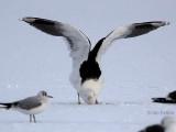 Great Black-backed Gull, Hogganfield Loch, Glasgow