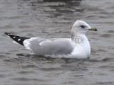 Common Gull (adult winter), Strathclyde Loch