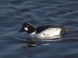 Goldeneye(male), Hogganfield Loch, Clyde