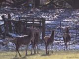 Red Deer, Gartfairn Wood-Loch Lomond NNR