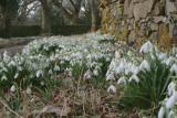 Snowdrops, Loch Lomond NNR