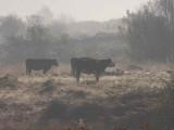 Cattle on a frosty, misty morning, Dumbrock Muir