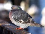 Feral Pigeon, Hogganfield Loch Glasgow