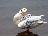 Hybrid of something and bits of Greylag Goose, Strathclyde Loch, Clyde