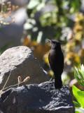 Ruppell's Black Chat, Debre Libanos