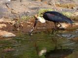 Wooly-necked Stork, Lake Tana