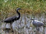 Dimorphic Egret, Lake Awassa, Ethiopia