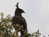 Long-crested Eagle, near Axum