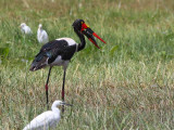 Saddle-billed Stork, Lake Awassa