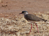 Crowned lapwing, Libden Plains, Yabello