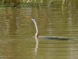 African Darter (juvenile), Lake Ziway