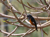 White-winged Cliff Chat (male), Axum