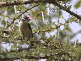 Red-fronted Tinkerbird, Lake Langano
