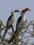 Von der Decken's Hornbill, Afar Plains
