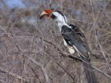 Von der Decken's Hornbill (male), Dawa River