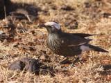 White-crowned Starling, Liben Plains near Yabello