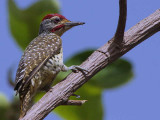 Nubian Woodpecker, Bahir Dar