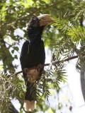 Silvery-cheeked Hornbill, Awassa