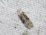 0991   Carpatolechia fugitivella  2166.jpg