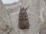 3016   Coenophila subrosea  009.jpg