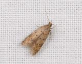 0998   Pseudotelphusa paripunctella  142.jpg