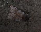 3054   Cerastis rubricosa  3731.jpg