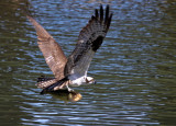 Osprey Catching Fish at Westlake Pond in Santa Cruz, CA