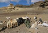 Goat shearing