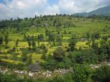 Rice fields, Kangra