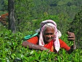 Tea picking