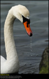 Mute swan (Knopsvane / Cygnus olor)