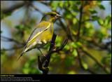 Greenfinch (Grønirisk / Carduelis chloris)