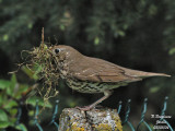 SONGTHRUSH - TURDUS PHILOMELOS - GRIVE MUSICIENNE