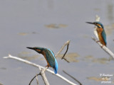 COMMON KINGFISHER-males