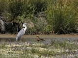 Grey Heron and Black Kite
