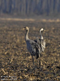 Common Crane - Adult and young