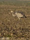 Common Crane juvenile