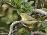 WILLOW WARBLER - PHYLLOSCOPUS THROCHILUS - POUILLOT FITIS