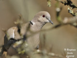 EURASIAN-COLLARED-DOVE - STREPTOPELIA DECAOCTO - TOURTERELLE TURQUE