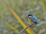 COMMON-KINGFISHER-female