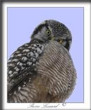 CHOUETTE ÉPERVIÈRE /  NORTHERN HAWK OWL    _MG_2042b  - crop  -  CETTE CHOUETTE ME REGARDE.. ?  /  THIS OWL IS LOOKING AT ME.. ?