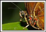 _MG_3120a   -  MORPHO PELEIDES  /  Costa Rica