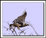 BUSE PATTUE, forme pâle  /   ROUGH-LEGGED HAWK, light phase   _MG_6096 aa