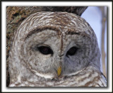 CHOUETTE RAYÉE   /   BARRED OWL    _MG_6488 aa