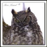 GRAND-DUC D'AMÉRIQUE   /   GREAT HORNED OWL     _MG_8215 a - Crop