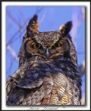 GRAND-DUC D'AMÉRIQUE,mâle   /   GREAT HORNED OWL, male      _MG_9272 a