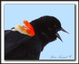 CAROUGE À ÉPAULETTES, mâle  /  RED-WINGED BLACKBIRD, male   -  Marais Provencher    _MG_2002 a  -  Crop