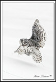 HARFANG DES NEIGES  -  SNOWY OWL   HARFANG DES NEIGES  -  SNOW OWL   _MG_4375a .jpg