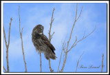 CHOUETTE LAPONE - GREAT GRAY OWL    foretperdue 043